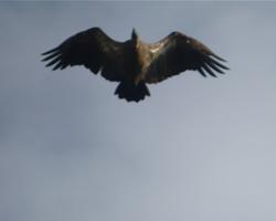 Beaudouins snake eagle - photo#23