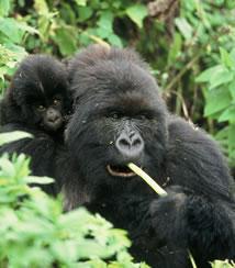 Mountain Gorilla - Rwanda Safaris
