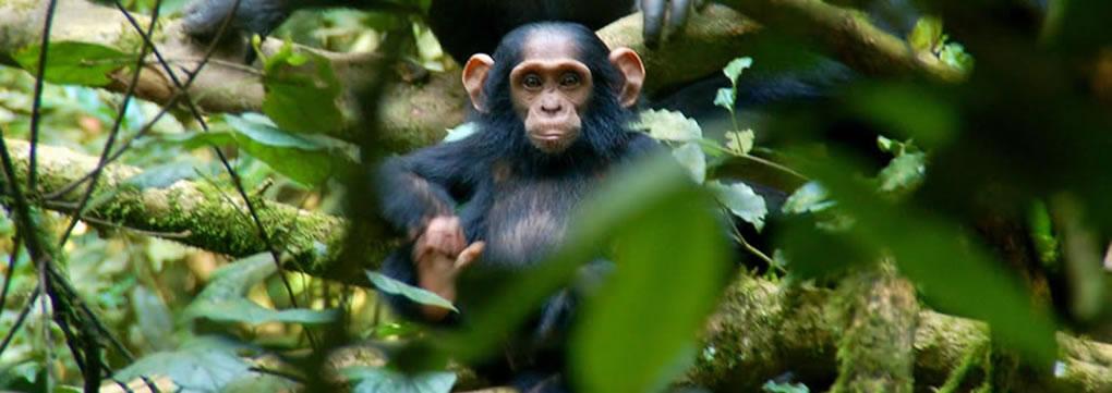 chimpanzee-safaris